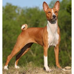 BASENJI O BELGIAN CONGO DOG